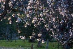 Zonovergoten roze en witte amandelbloesem. royalty-vrije stock fotografie