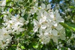 Zonovergoten tak van tot bloei komende appelboom met witte bloemen in de lente Stock Foto