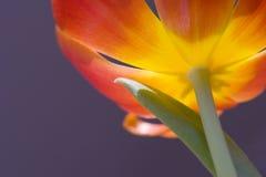 Zonovergoten tulp Royalty-vrije Stock Afbeelding