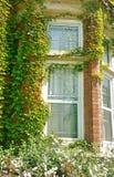 Zonovergoten vensters van de oude rode die baksteenbouw door groene installatie wordt behandeld Royalty-vrije Stock Foto's