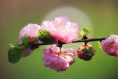 Zonovergoten zachte nadrukbrunch met roze amandelbloemen Royalty-vrije Stock Fotografie