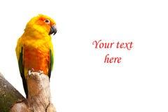 Zonparkiet of zonconure, Aratinga-de vogel van de solstitialispapegaai op witte achtergrond met copyspace Stock Afbeelding