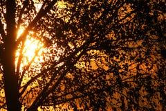 Zonsondergang achter de boom Stock Afbeelding