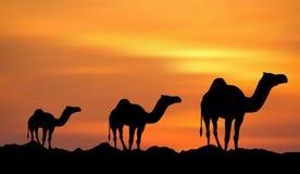Zonsondergang & Kamelen Stock Foto