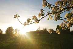 Zonsondergang in appeltuin Royalty-vrije Stock Afbeeldingen
