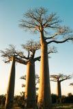Zonsondergang bij Baobabweg Royalty-vrije Stock Foto's