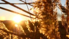Zonsondergang bij gebied Geel lang gras die zich in de wind bewegen 4K stock videobeelden