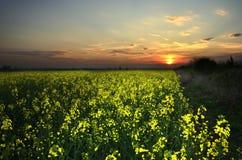 Zonsondergang bij koolzaad Stock Foto