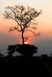 Zonsondergang bij savanne, Oeganda Royalty-vrije Stock Foto's