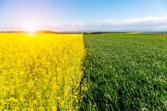 Zonsondergang boven jong tarwe en koolzaadgebied stock afbeelding