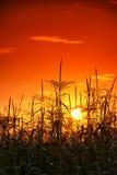 Zonsondergang in cornfield royalty-vrije stock foto's