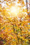 Zonsondergang in de herfstbos Stock Fotografie