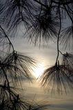 Zonsondergang in de pijnbomen Stock Foto