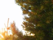 Zonsondergang door de pijnboom Stock Afbeeldingen