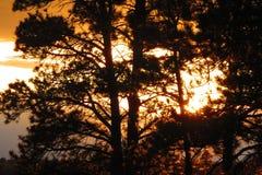 Zonsondergang door pijnboombomen Stock Foto's