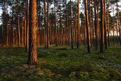 Zonsondergang in een bos Stock Afbeelding