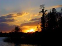 Zonsondergang en cipresbomen op meer met reigers het vliegen stock foto's
