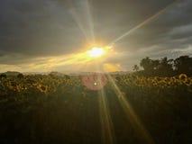 Zonsondergang en zonbloemen Stock Foto