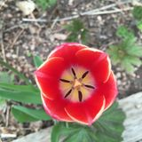 Zonsondergang-gekleurde Tulp stock afbeeldingen