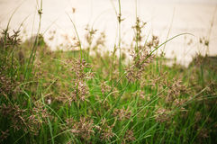 Zonsondergang groene gras en het behang van het bloemengras en achtergrond Royalty-vrije Stock Foto's