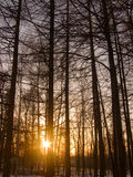 Zonsondergang in hout Stock Fotografie