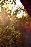 Zonsondergang lichte bezinningen in bladeren van een boom royalty-vrije stock foto's