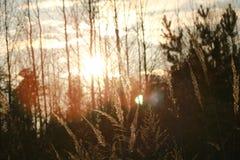 Zonsondergang met gras en bos Royalty-vrije Stock Foto