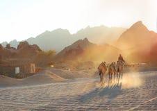 Zonsondergang met jongen en kamelen in de Egyptische bergwoestijn Stock Afbeelding