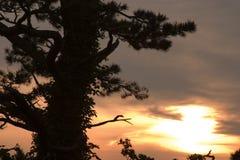 Zonsondergang met Pijnboom Royalty-vrije Stock Foto