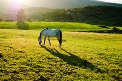 Zonsondergang met wit paard Royalty-vrije Stock Afbeeldingen