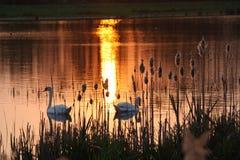 Zonsondergang met zwanen stock afbeelding