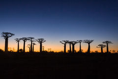Zonsondergang op baobabbomen royalty-vrije stock foto