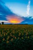 Zonsondergang op een gebied van de zonbloem Royalty-vrije Stock Foto's