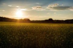 Zonsondergang op het canolagebied Stock Afbeelding