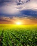 Zonsondergang op het Groene Gebied van tarwe, blauwe hemel en zon, witte wolken. sprookjesland Royalty-vrije Stock Foto's