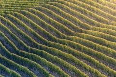 Zonsondergang op Italiaans die heuvelgebied langhe met rijpe grapewine wordt geroepen Royalty-vrije Stock Afbeeldingen