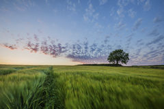 Zonsondergang op landbouwbedrijfgebieden met boom en mooie roze bewolkte hemel, Cornwall, het UK Stock Foto