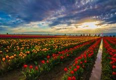Zonsondergang op Tulip Farm Royalty-vrije Stock Foto's