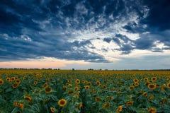 Zonsondergang op zonnebloemgebied, mooi de zomerlandschap, donkere bewolkte hemel Royalty-vrije Stock Fotografie