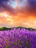 Zonsondergang over een gebied van de de zomerlavendel stock fotografie