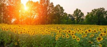 Zonsondergang over een gebied van zonnebloemen royalty-vrije stock afbeelding