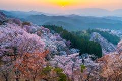 Zonsondergang over het bos van kersenbomen Stock Foto