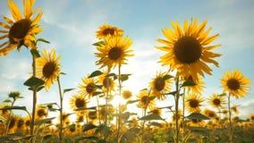 Zonsondergang over het gebied van zonnebloemen tegen levensstijl een bewolkte hemel het oogsten het gebiedsconcept van landbouwzo stock footage