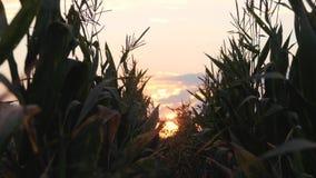 Zonsondergang over het graangebied Graan in de zon stock footage