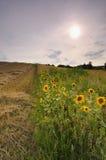 Zonsondergang over het zonnebloemgebied Royalty-vrije Stock Foto's