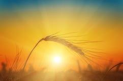 Zonsondergang over oogst Stock Foto's
