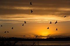 Zonsondergang over Phillip Island met Zeemeeuwen tijdens de vlucht royalty-vrije stock afbeelding