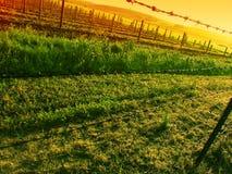 Zonsondergang over Wijngaard Stock Afbeelding