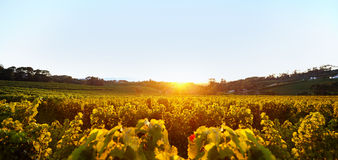 Zonsondergang over Wijngaard Stock Fotografie