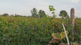 Zonsondergang over wijngaarden in Vrancea, Roemenië in de herfst stock video